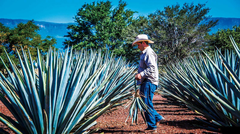 Tequila的原料藍色龍舌蘭,是136種龍舌蘭中品質最好的。(圖/翻攝自destilandocultura網站)