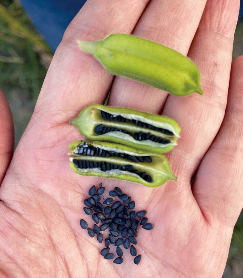 每個果莢約有80顆芝麻,20萬顆芝麻才能榨出一瓶250ml的胡麻油。(圖/品牌提供)