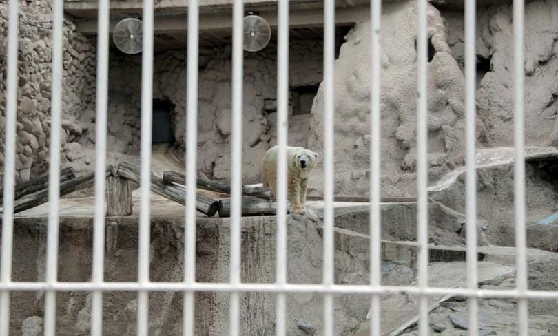 阿圖羅成為了大家關注的焦點,網路上給了牠一個外號:「世界上最悲傷的北極熊」。(圖/達志/美聯社)