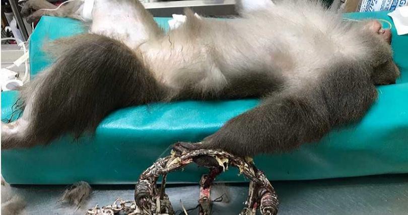 遭到捕獸夾夾住的動物下場都只有截肢一途。(圖/台東心語動物醫院提供)