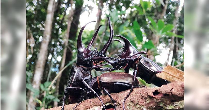 野生的南洋大兜蟲是八弟最愛的甲蟲之一。
