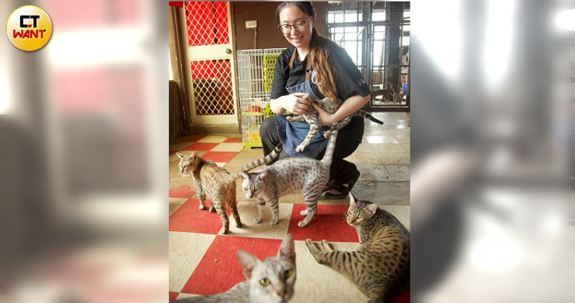 第五代非洲熱帶草原豹貓,是老闆女兒心頭好。(圖/施岳呈攝)