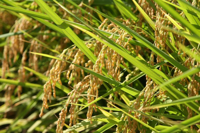「上游米」引用源頭的新武呂溪灌溉,經嚴格篩選再細細碾去粗糠。(圖/掌生穀粒糧商號提供)