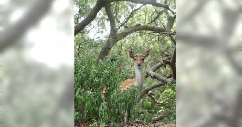 大坵島上野生梅花鹿。