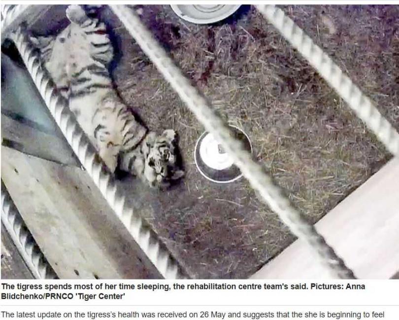 幼虎很適應野生動物中心的環境。(圖/siberiantimes)