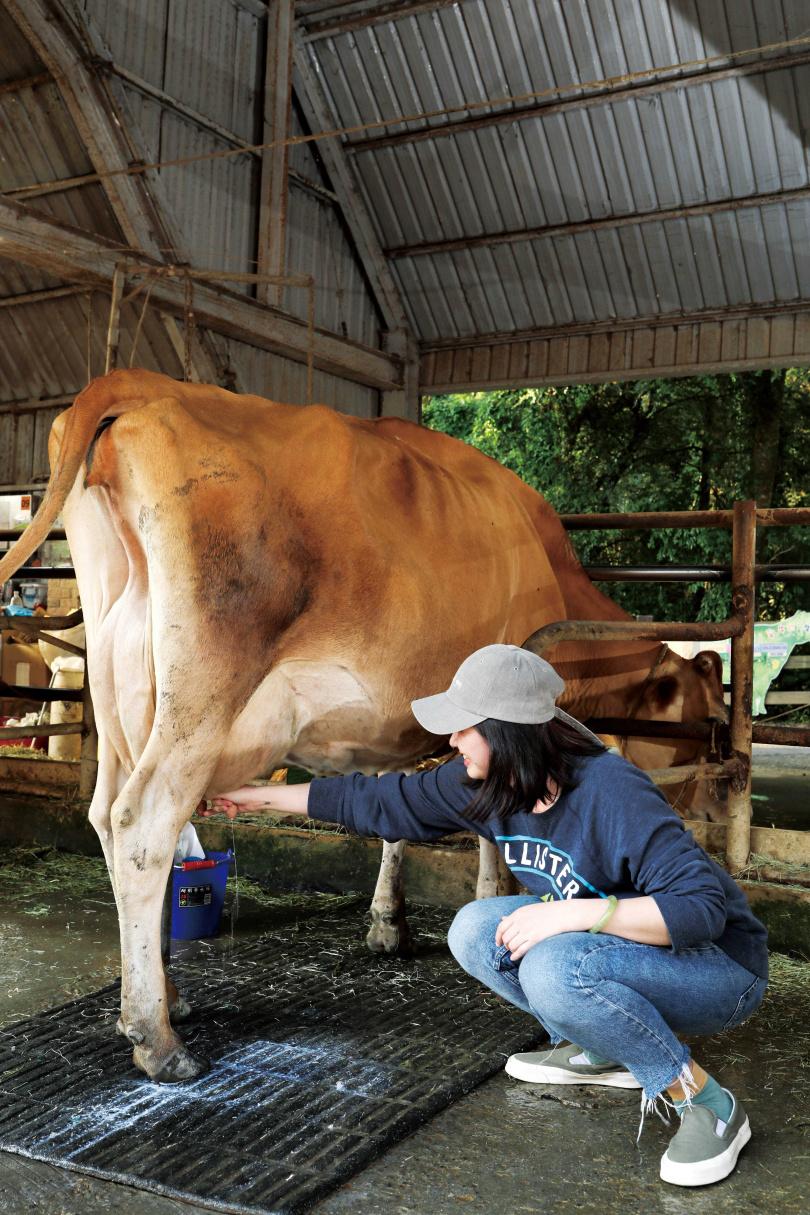 遊客可嘗試幫牛媽媽擠奶,體驗牧場的一日生活。(圖/于魯光攝)
