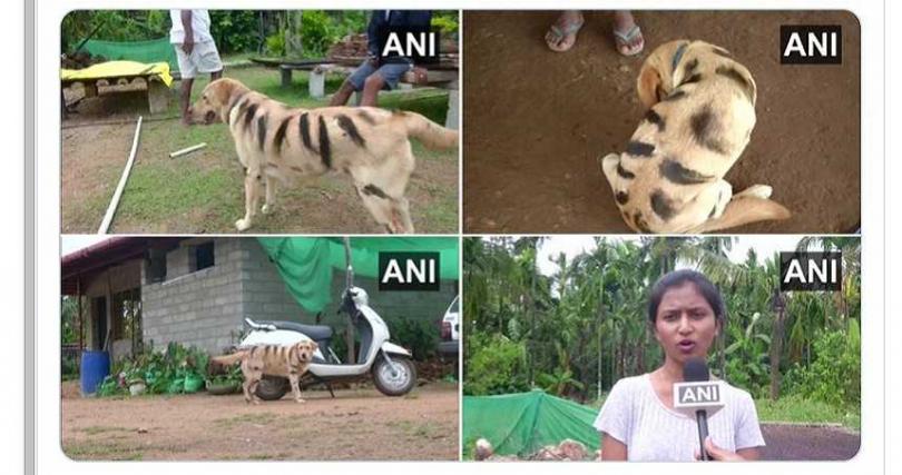 農夫女兒受訪時表示,現在村裡其他農夫也效仿「假老虎」妙招。(圖/ANI推特)