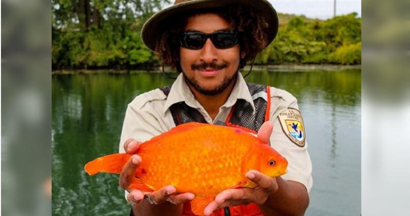 體型嬌小的金魚,竟在運河中長成一條「河中巨怪」。(圖/翻攝自Buffalo Niagara Waterkeeper)