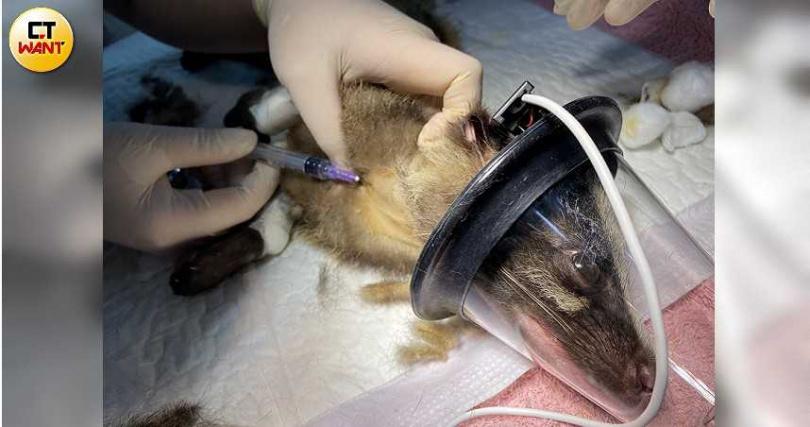 野灣野生動物醫院「病患」包括3隻來自綠島的白鼻心幼獸,獸醫吳昀蓉與保育員廖朝盛為牠們檢查,恢復健康後將會野放回家。(圖/野灣動物救援中心提供)