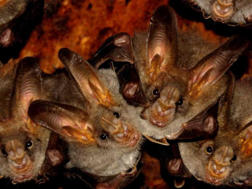蝙蝠身帶至少200種冠狀病毒,人蝠關係理還真亂。(圖/Unspalsh)