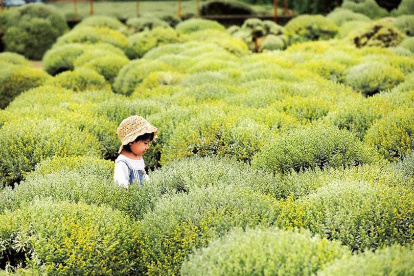 「建華芙蓉園」專營芙蓉草買賣,因為圓滾滾造型,被網友暱稱為雪白波波草。(圖/于魯光攝)
