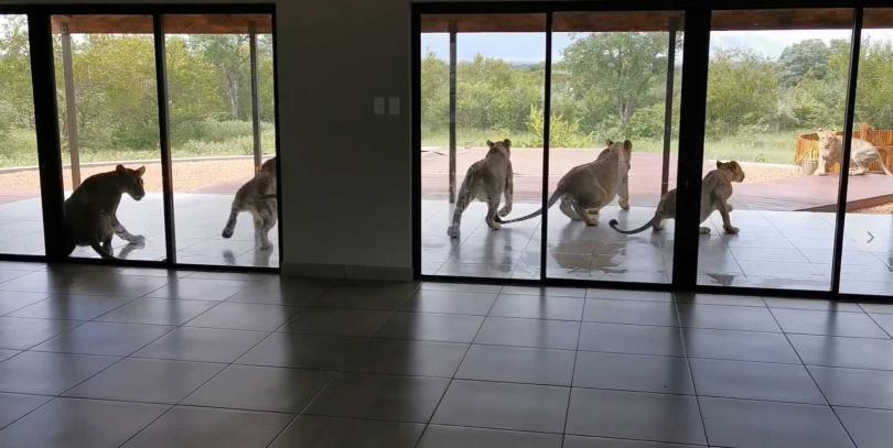 獅子們聽見大衛的關門聲,受到驚嚇起身離開。(圖/翻攝自David De Beer臉書)