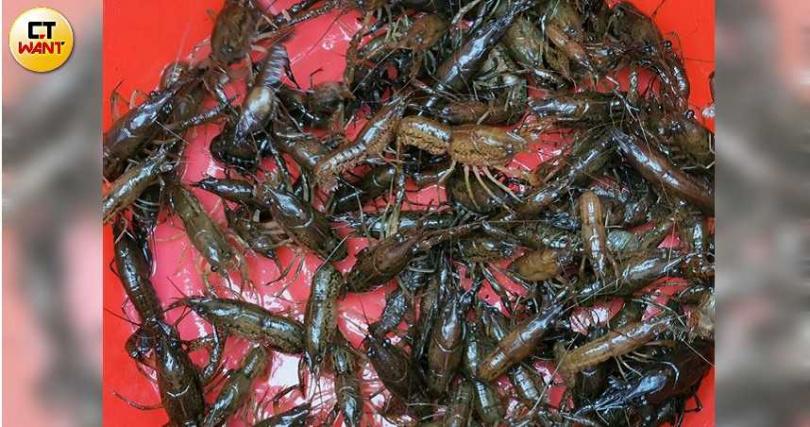 大安森林公園螢火蟲生態池已遭大理石紋螯蝦攻陷,隨便一撈就一大堆,相當驚人。(圖/大安森林公園之友基金會提供)