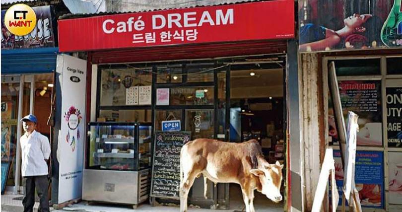 在大街上漫步的牛隻,似乎也被提供韓食的咖啡店吸引了。(圖/游苔攝影)