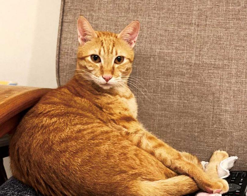 最晚到家中的橘貓,因為毛色加上圓滾滾的體型,被取名為「桔子」。(圖/王渝萱提供)