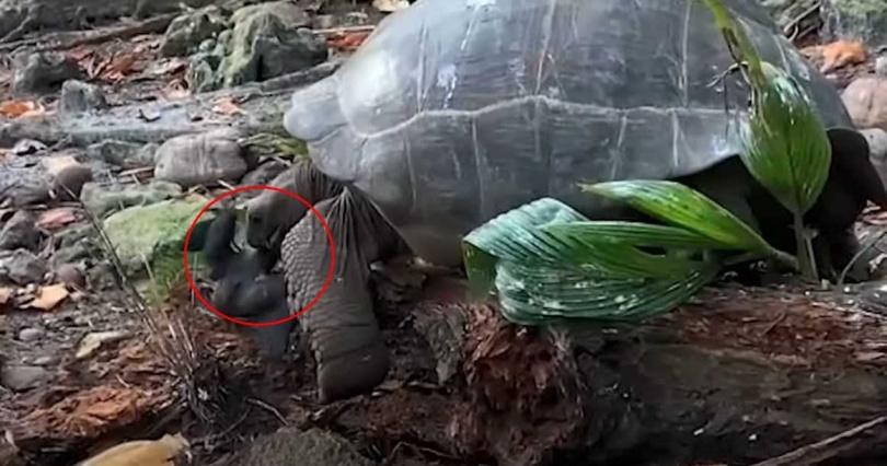 最後象龜成功吃掉小鳥。(圖/翻攝自Science News YouTube)