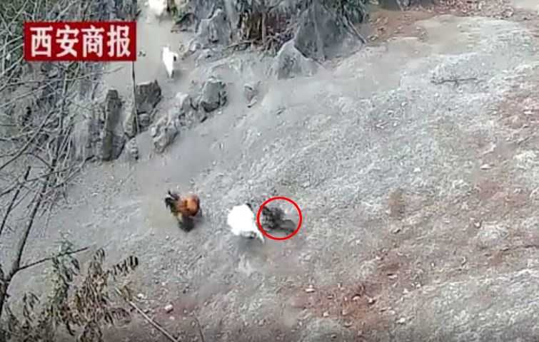 4隻大公雞急忙跑出來攻擊老鷹。(圖/翻攝自網易視頻)