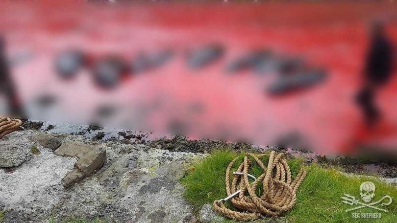 法羅群島的傳統儀式導致破千隻海豚身亡。(圖/翻攝自Sea Shepherd Faroe Islands Campaign)