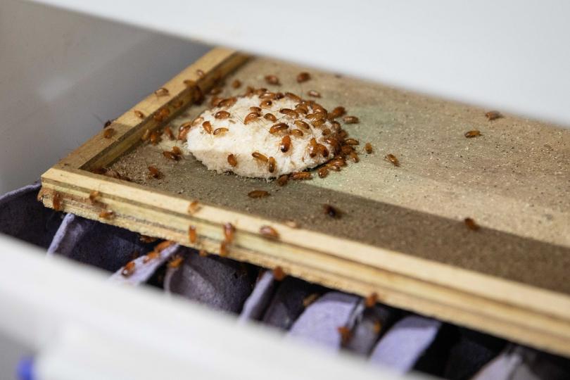 人工培育的蟑螂彷彿貴族,食物溫度都需嚴格控款,稍有不慎便會屍衡遍野。(圖/翻攝畫面)