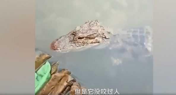 女子洗碗時,一隻野生的揚子鱷在附近等食物。(圖/翻攝自封面視頻)