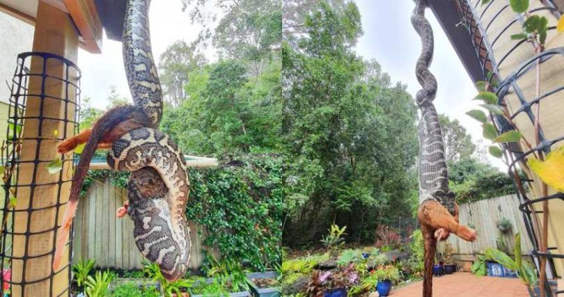 男子家外驚見巨大蟒蛇。(圖/翻攝自臉書Sunshine Coast Snake Catchers 24/7)