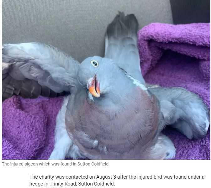 鴿子被3名女孩虐待,身上都是血,脖子也嚴重傾斜。(圖/翻攝自RSPCA)