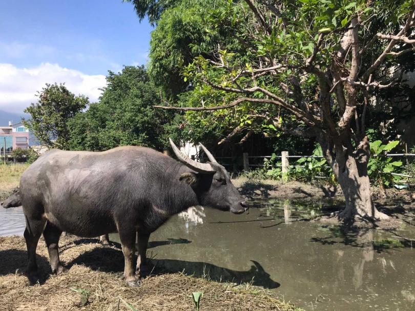 一頭水牛要價1萬5千元。(圖/報系資料照)