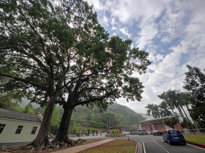 巨大的「夫妻樹」已有近百年歷史,可說是園區最醒目的「地標」。