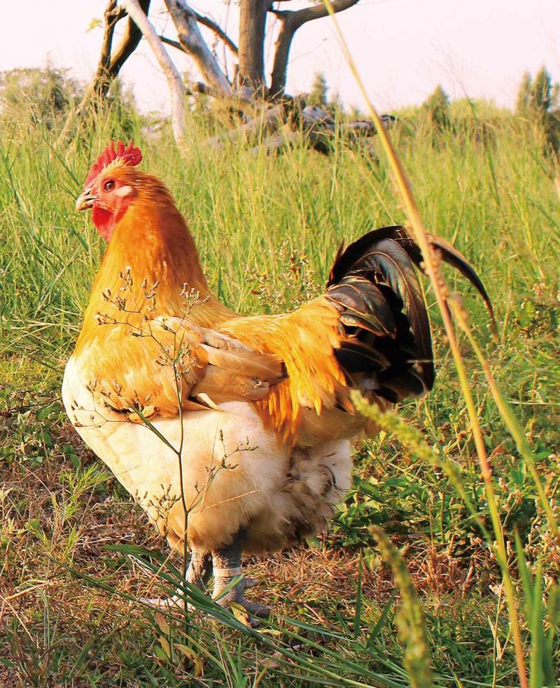 在兩千坪土地放養的帕修斯雞,即使生病也不投藥,汰弱留強只留最健康強壯的雞隻。(圖/凱馨提供)