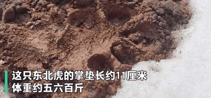 這隻野生東北虎掌墊長約11釐米(約0.11公尺),體重約5、600斤(約300到360公斤)。(圖/翻攝自南方網)