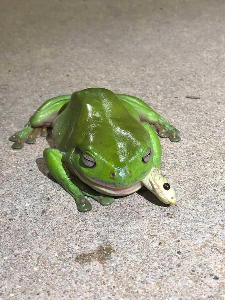 專家稱綠樹蛙幾乎能吃下任何東西。(圖/臉書)