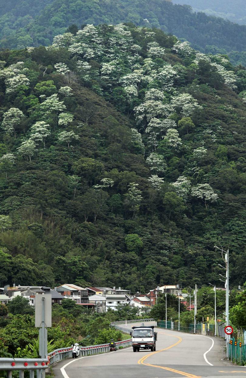 五月進入油桐花季,翠綠山頭出現點點白雪之景。(圖/于魯光攝)