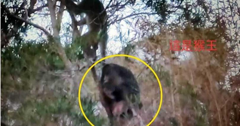 火炎山猴群跟著猴王下山覓食。(圖/蔡玉清提供)