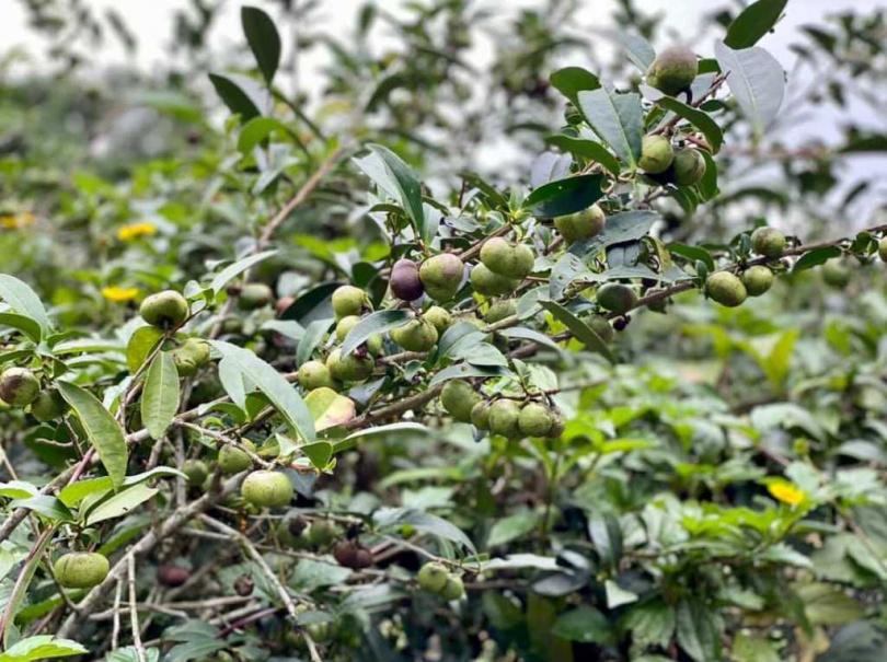 淡水樹興社區蒔茶茶籽中秋白露後即可準備採收。(圖/新北農業局提供)