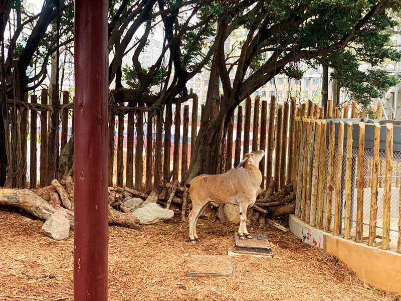 非洲伊蘭羚羊、矮種馬、台灣山羌、黇鹿與鴕鳥一起住進大草原區,有可攀高的岩坡,也有能盡情奔跑的平坦草地。(圖/新竹動物園提供)