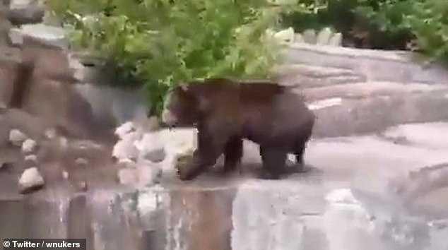 棕熊莎賓娜在2015年時也遭到人闖入攻擊。(圖/翻攝自推特wnukers)