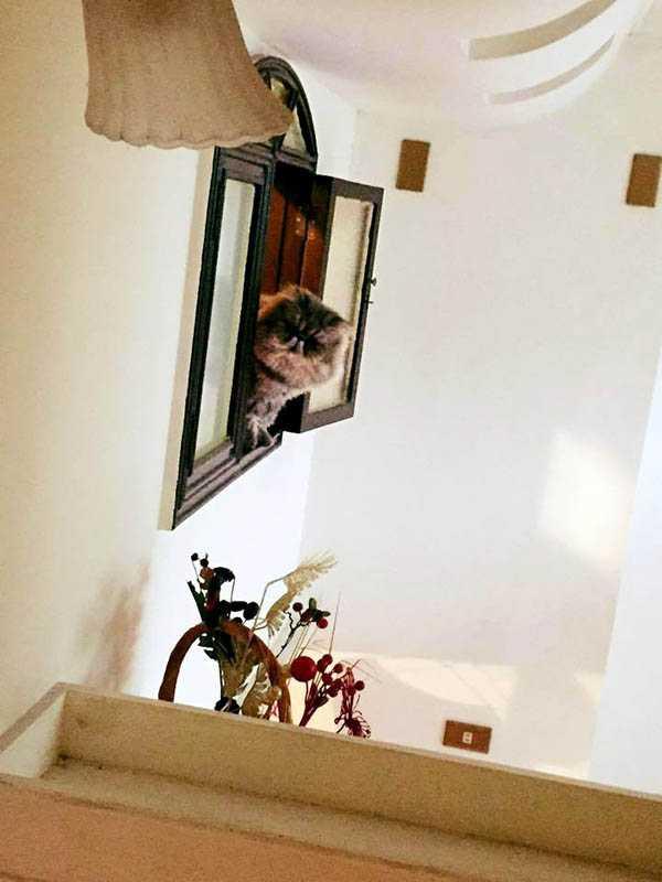 是元介的貓在家中各占據一個樓層,不願意相見,圖為歐洛肥在窗口居高臨下地看著主人。(圖/翻攝自是元介臉書)
