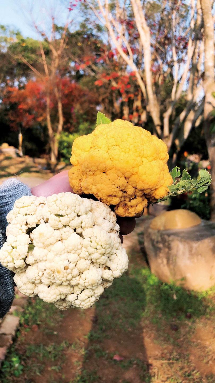 「美好農場生態園區」以自然農法種植的各色花椰菜,漂亮又有營養。(圖/美好農場生態園區提供)
