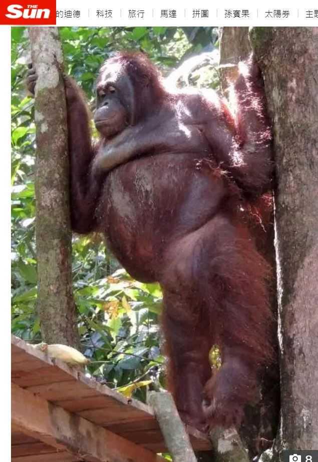 波妮獲救至今仍無法回到正常的紅毛猩猩生活。(圖/翻攝自太陽報)