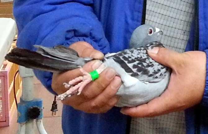 賽鴿的腳環留有鴿主聯繫資料,擄鴿集團就是透過此方式聯繫鴿主,藉機勒贖。(圖/報系資料照)