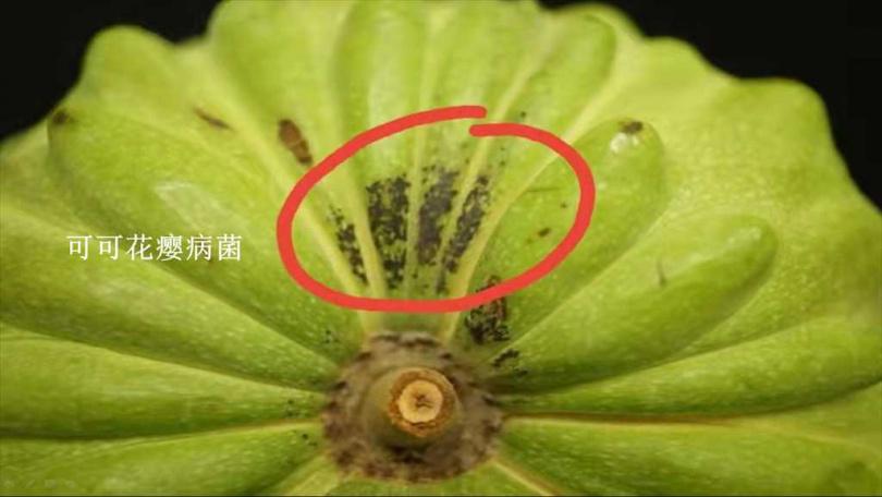 大陸國台辦發言人朱鳳蓮在記者會上出示台灣水果害蟲照片。(圖/國台辦提供)