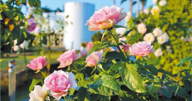 浪漫一夏 北市祕密花園有700種玫瑰輪流綻放
