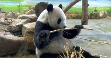 「圓仔」當姐姐了! 大貓熊「圓圓」努力5小時生「幼仔」