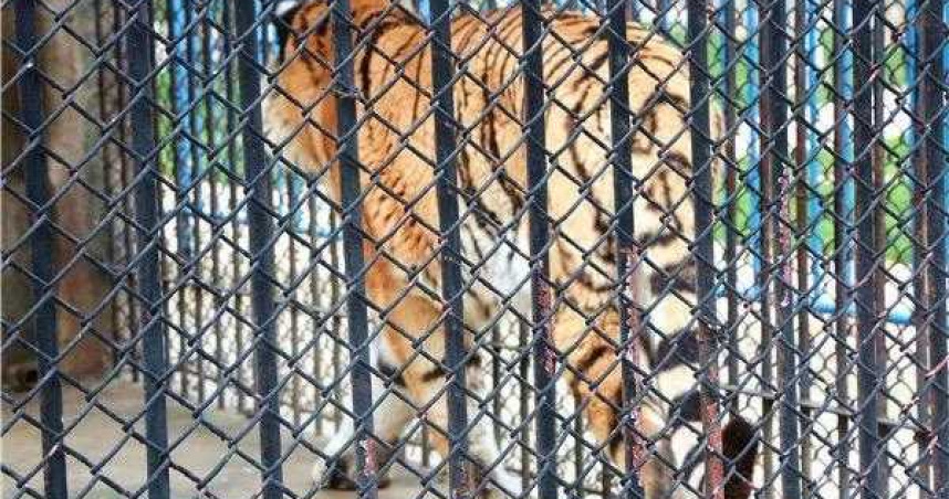 動物園籠門沒鎖好!飼養員遭老虎襲擊慘死 家屬悲痛:平時就提醒