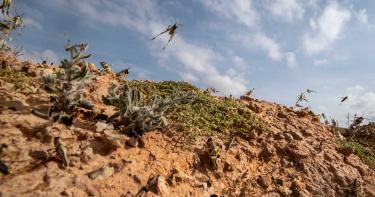 非洲25年來最嚴重蝗災!成群蝗蟲「日食3.5萬人糧食」