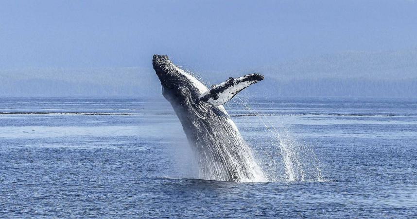 嚇死!遭鯨魚「生吞」40秒 美國漁夫自述「睜眼一片漆黑」