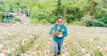 猴子愛吃鳳梨 台東農民種8000棵還未採收僅剩一半