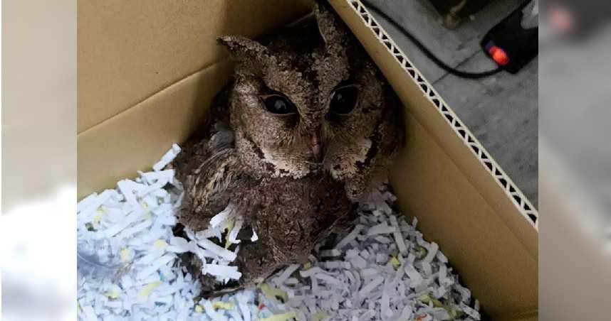 2級保育類鴒角鴞受傷飛不動 民拾獲送警救援