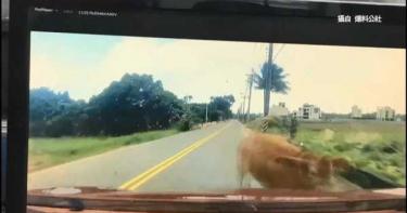 小轎車撞輸大黃牛 車主心痛板金凹陷還被罵