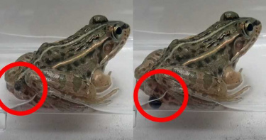 青蛙大口吞下獵物!超狂甲蟲勇闖腸胃 2小時內「脫肛逃出」